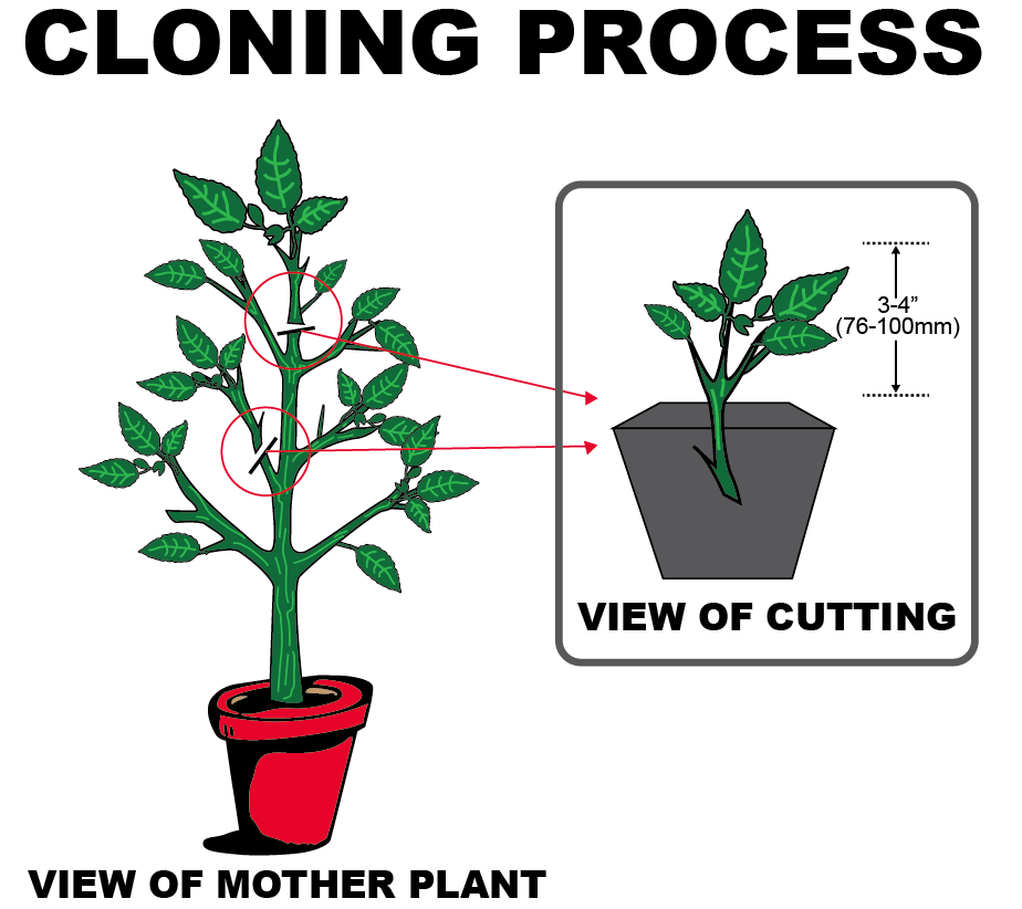 Artificial cloning in animals