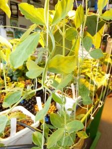 Hydroponic peas climbing a trellis