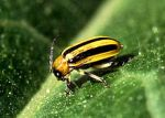 220px-cucumber_beetle